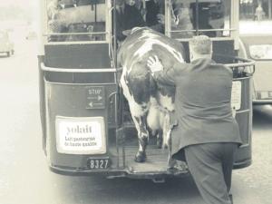 1950 Париж. Човекът си транспортира кравата в градския транспорт.
